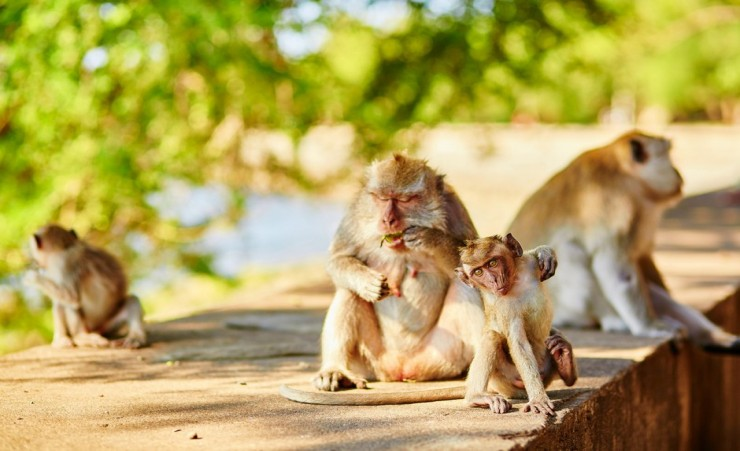 """Long Tailed Macaque Bali"""
