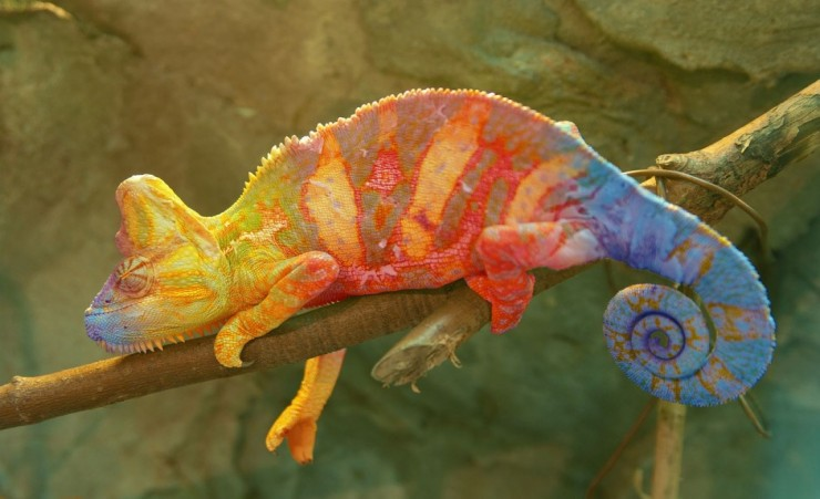 """Colourful Chameleon In Amber Mountain National Park"""