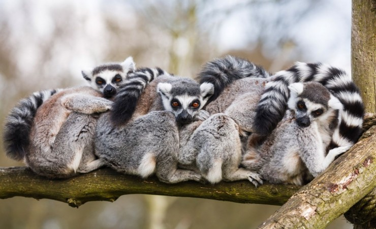 """Ring Tailed Madagascan Lemurs"""