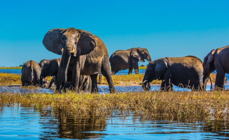 """Elephants Drinking From The Zambezi River"""