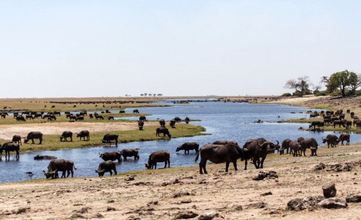 """Herd Of Buffalo In The Chobe River"""