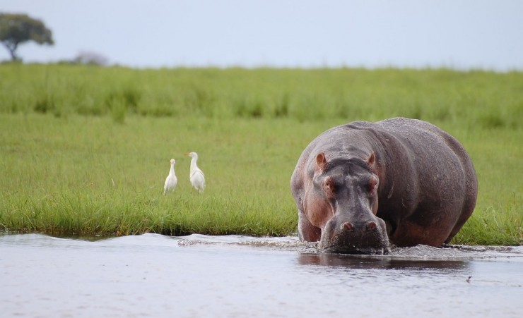 """Hippopotamus In Chobe National Park"""