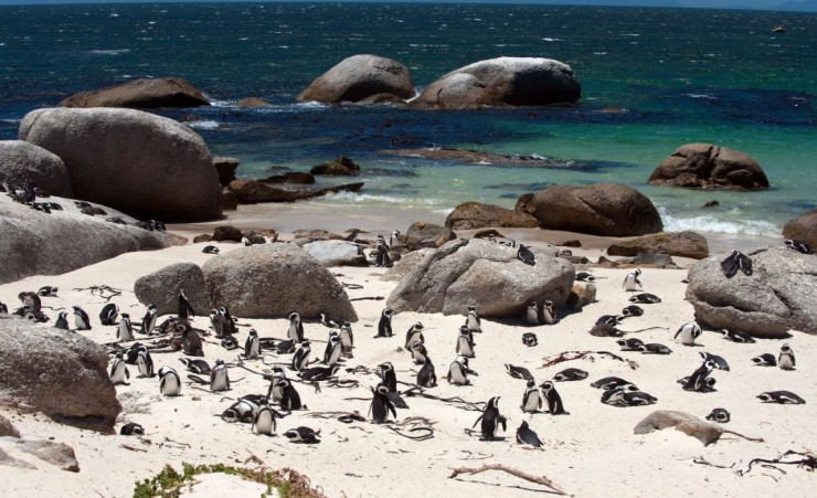 """Penguins On Boulders Beach Cape Town"""