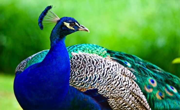 """Indian Peafowl"""