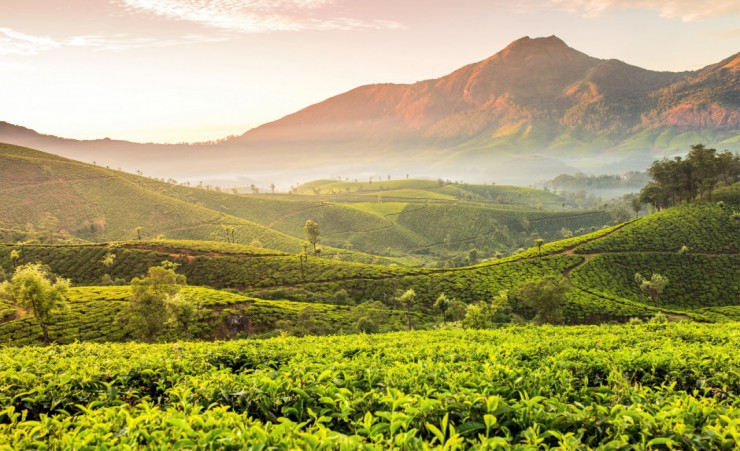 """Tea Plantations In Kerala"""