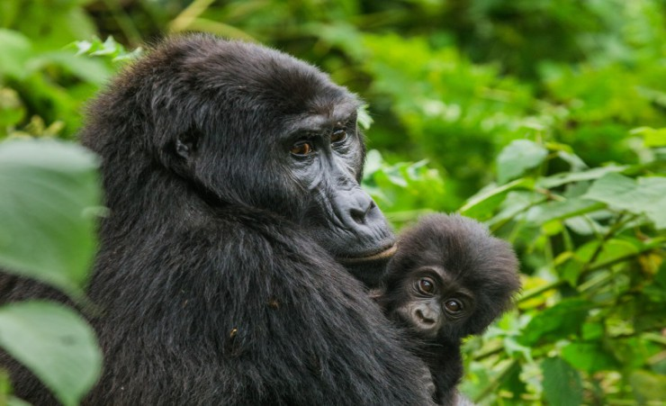 """Mountain Gorilla Mother And Baby"""