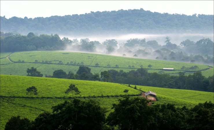 """Tea Plantations Of Bwindi"""