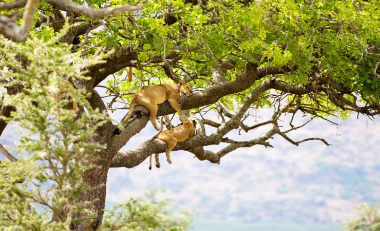 """Tree Lions In Queen Elizabeth National Park"""