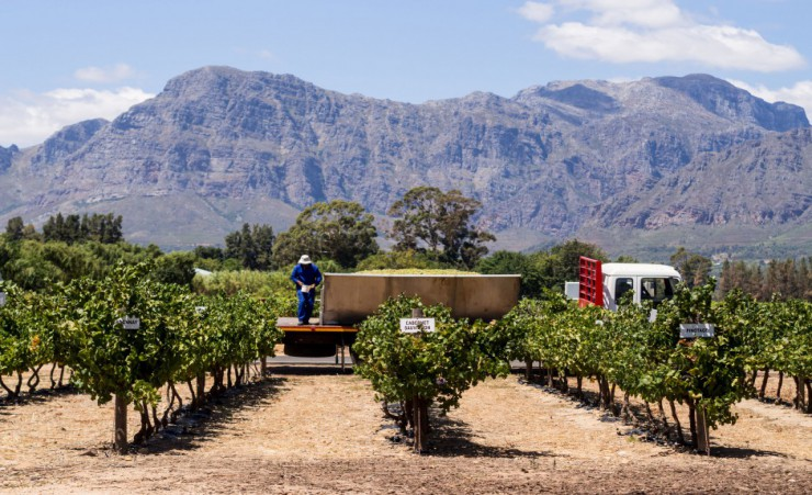 """Grape Harvest Franschhoek"""