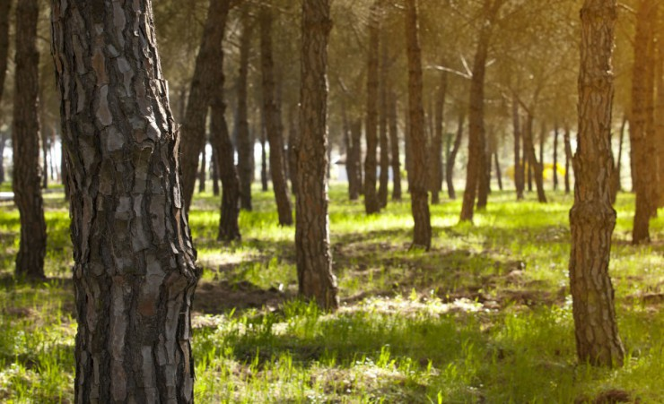 """Stone Pine Forest Donana National Park"""