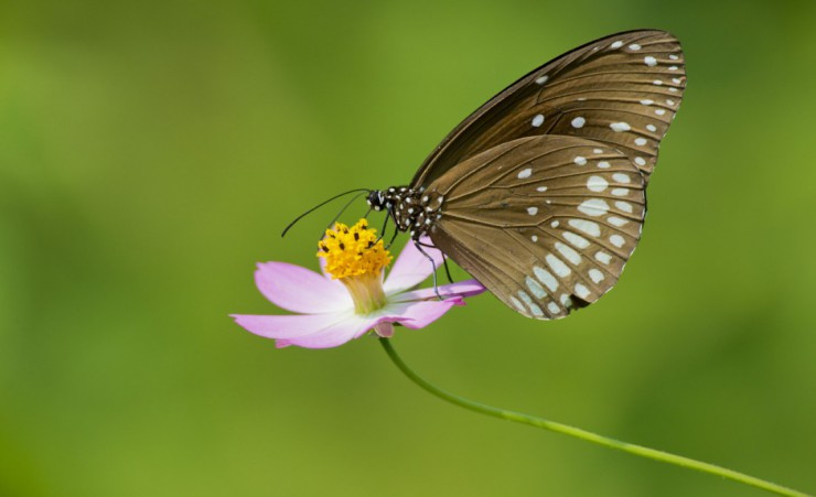 """Crow Butterfly   Kanha National Park"""