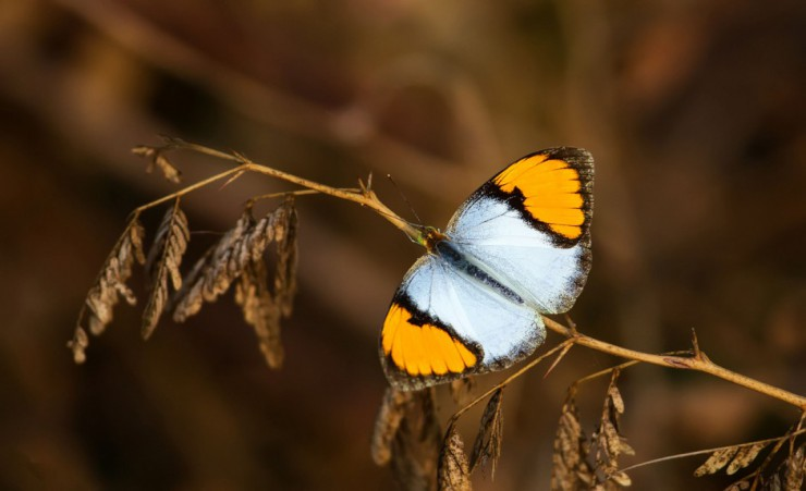 """White Orange Tip Butterfly   Bharatpur Bird Sanctuary"""