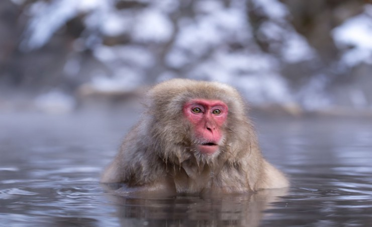 """Japanese Snow Monkey   Yudanaka"""