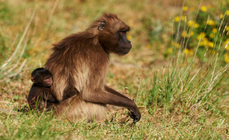 """Gelada Baboon   Simien Mountain National Park"""