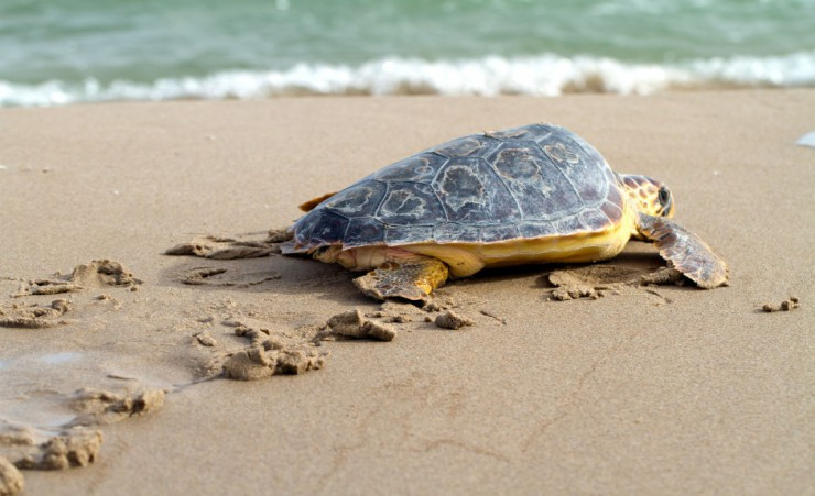 """Caretta Caretta Beach Loggerhead Sea Turtle"""