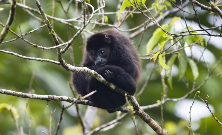 """Mantled Howler Monkey"""