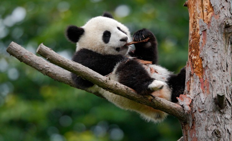 """Panda Breeding And Research Centre   Chengdu"""