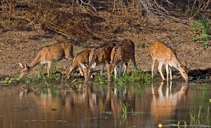 """Small Spotted Deer"""