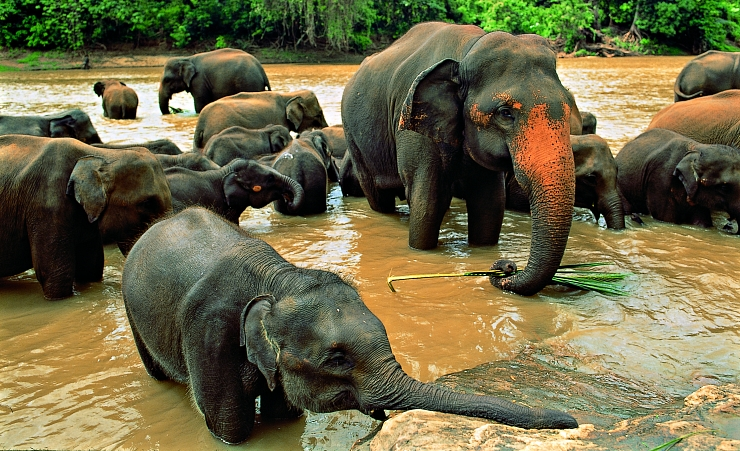 """Pinnawela Elephants"""
