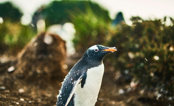 """Penguins On Beagle Channel"""