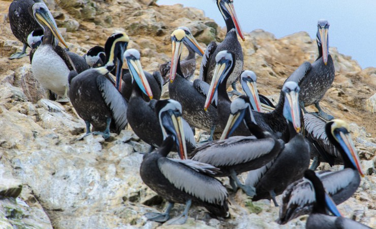 """Pelicans On The Rocks Of Ballestas Islands"""