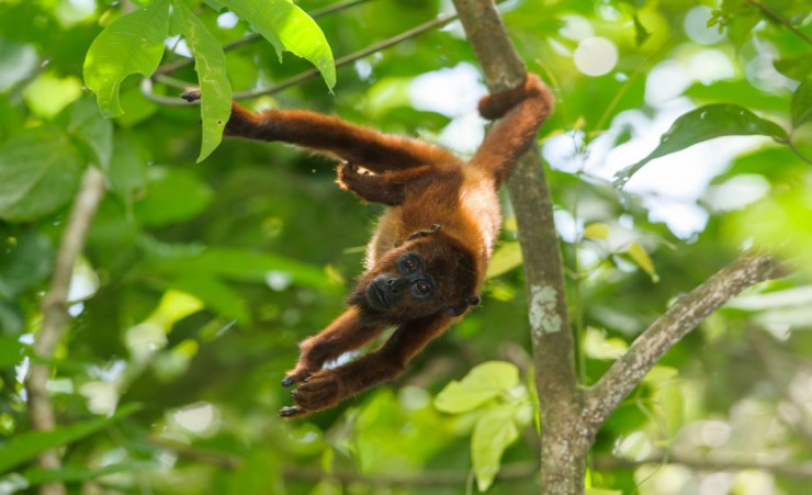 """Red Howler Monkey   Tambopata National Reserve"""