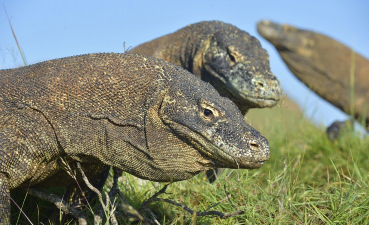 """Komodo Dragons On Rinca Island"""