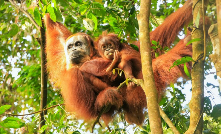 """Orangutans At Leuser National Park   Bukit Lawang"""