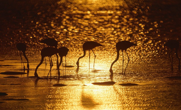 """Flamingo Birds At Walvis Bay"""