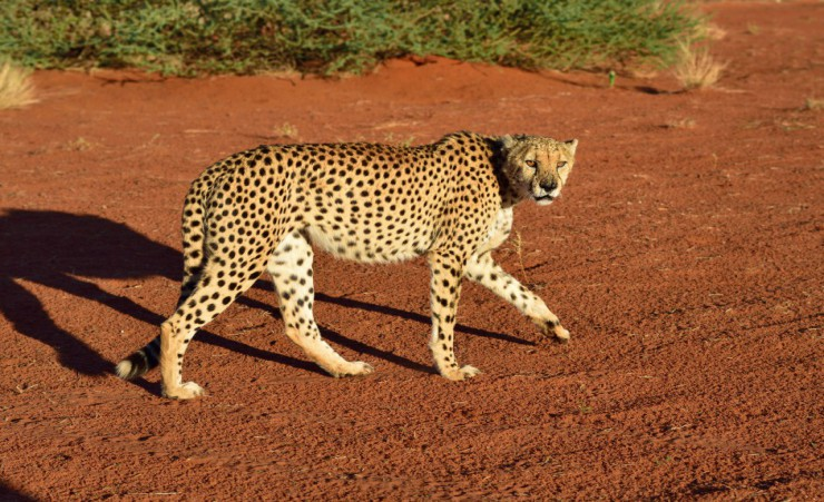 """Wild Cheetah In The Kalahari Desert"""