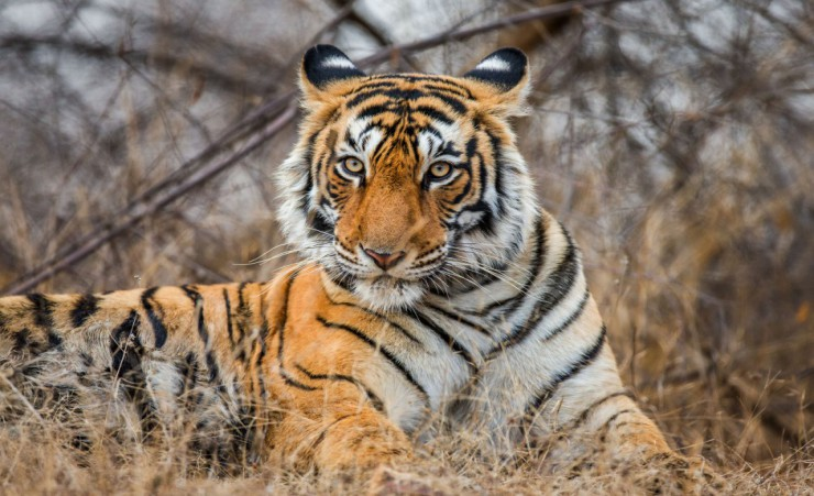 """Bengal Tiger   Ranthambore National Park"""