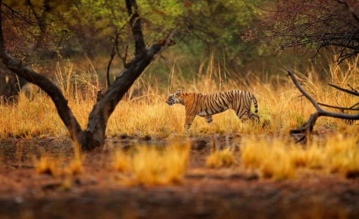 """Tiger Roaming    Ranthambore National Park"""