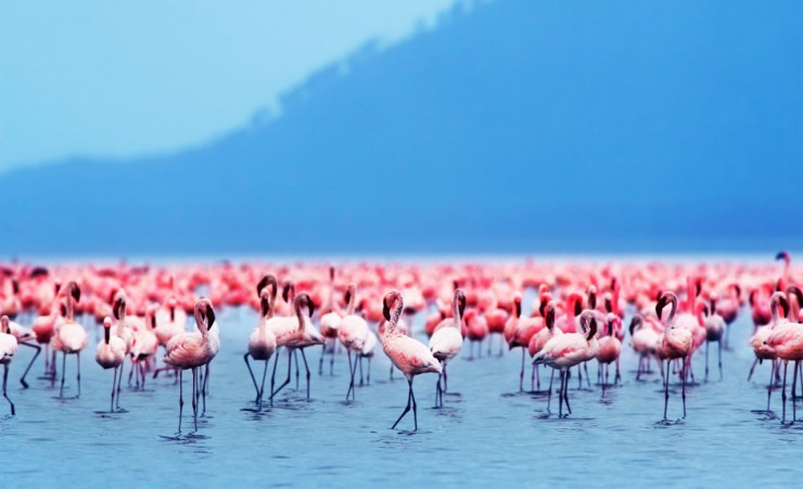 """Lake Nakuru Flamingos"""