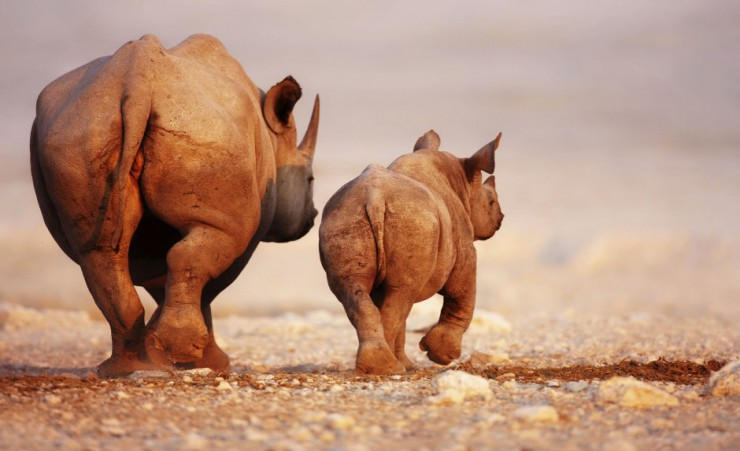 """Black Rhinoceros In The Etosha Desert"""
