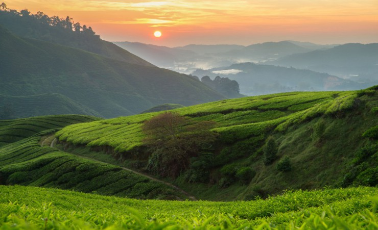 """Cameron Highlands Tea Plantations"""