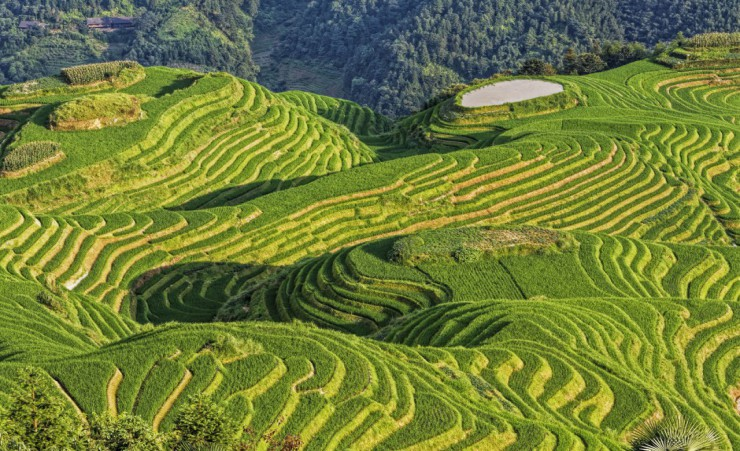 """Longsheng Rice Terraces"""