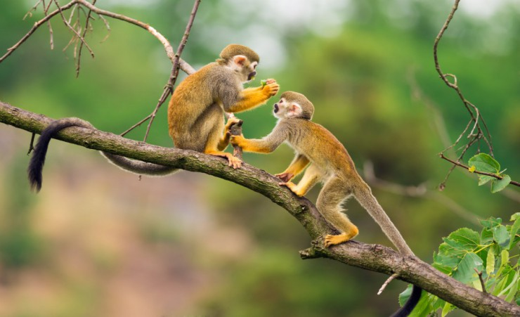 """Squirrel Monkeys 41331218"""