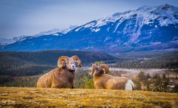 """Sheep With Mountain Scenery"""