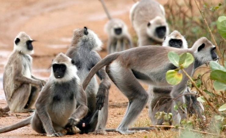"""The Gray Langur Monkey"""