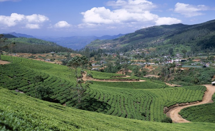 """Tea Plantation at Nuwara Eliya"""