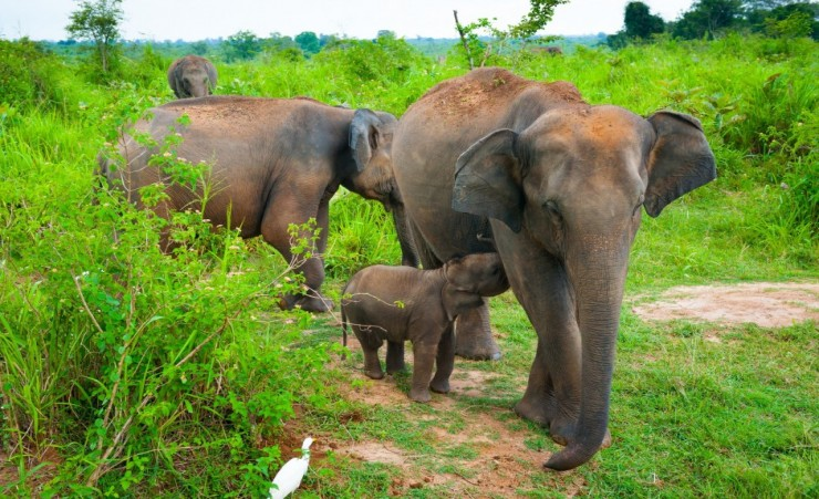 """Elephants In Udawalawe National Park"""