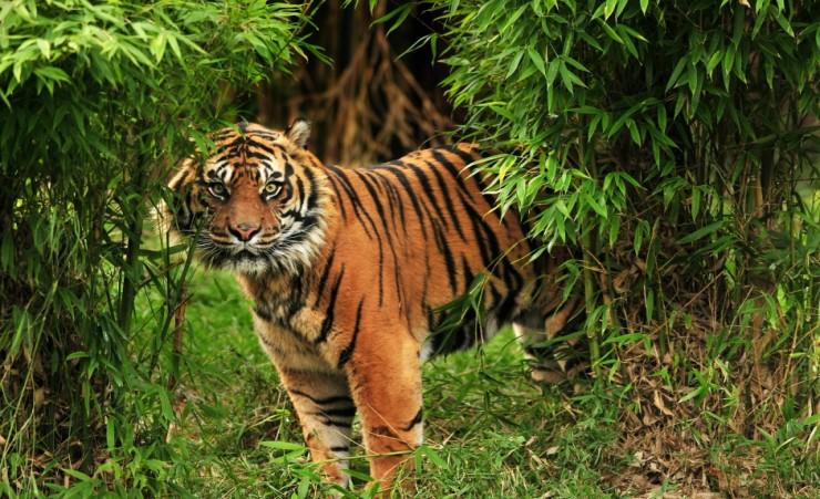 Bengal Tiger Kabini