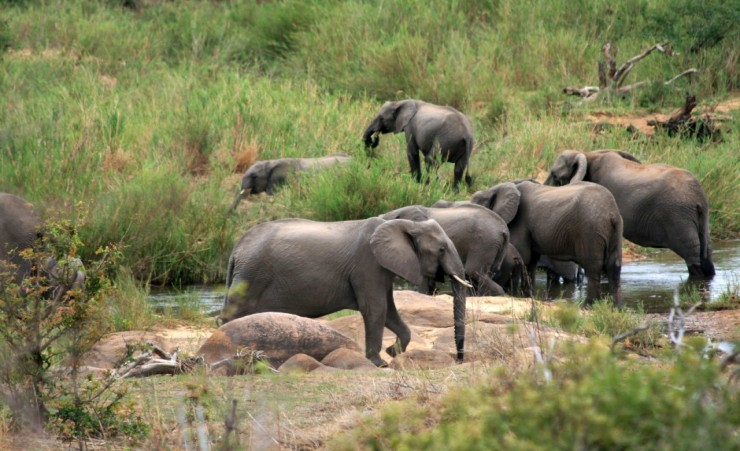 """Kruger National Park Elephants"""
