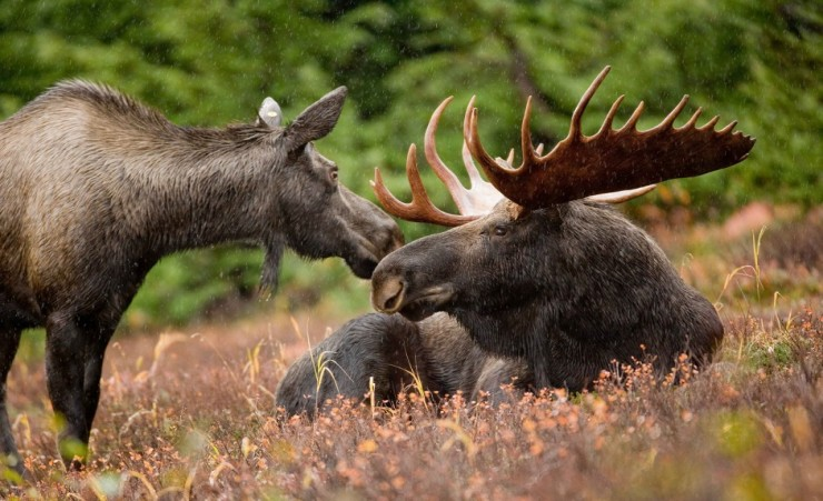 """Bull Moose Yoho National Park"""