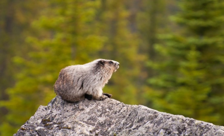 """Hoary Marmot In Banff National Park"""