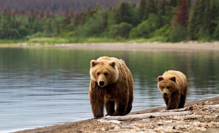 """Grizzly Bears Glacier National Park"""