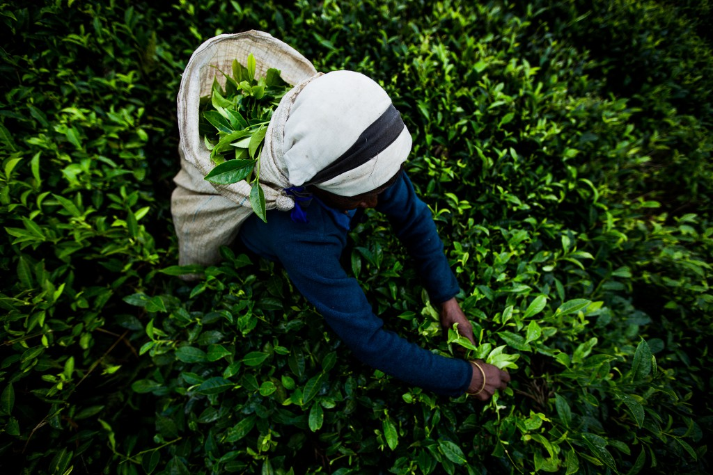 tea picking Sri Lanka